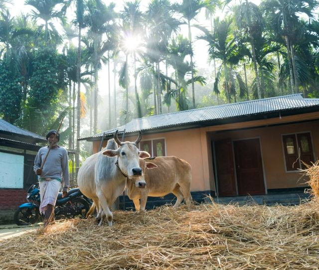 Excursions On Assam Bengal Navigations Brahmaputra Cruise Village Man And Cows Sifting Through Rice