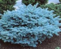 Photo of Blue Globe Spruce