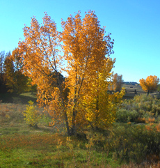 Cottonwood Fall Color