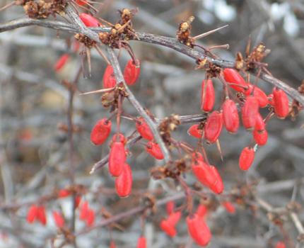 Berberis thunbergii- berries