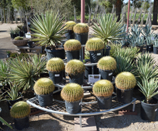 agave, yucca, and cacti