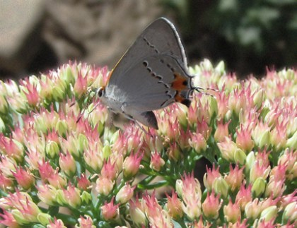 Butterfly and Sedum Todds Yard