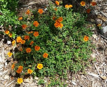 Helianthemum Orange - Orange Sunrose
