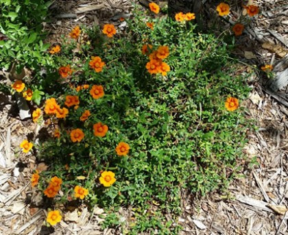 Helianthemum Orange - Orange Sunrose