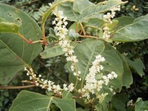 Japanese knotweed flowers
