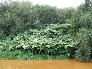 Japanese knotweed spreading in a lot