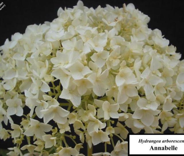 Hydrangea Arborescens Annabelle Flowers