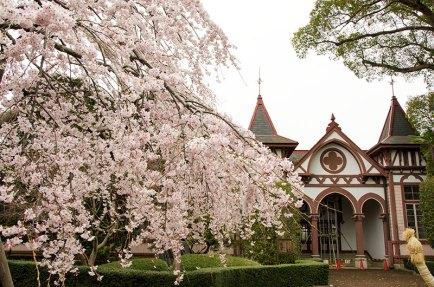 しだれ桜が見頃でした