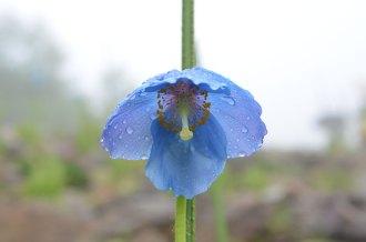ヒマラヤの青いケシ(1)