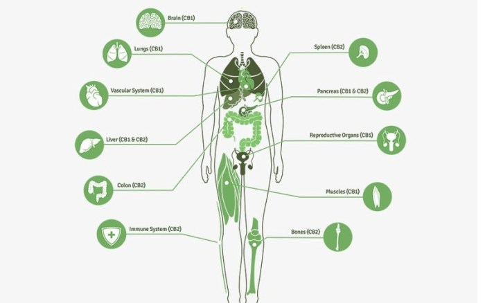 Why Does CBD Affect our Bodies