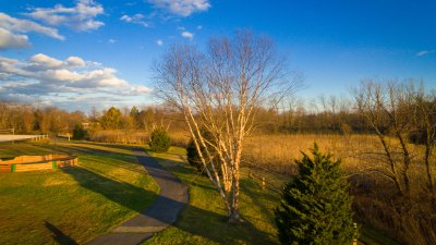 white-birch-tree-0035