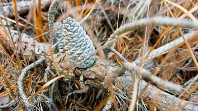 pinecones-pinebarrens-5698