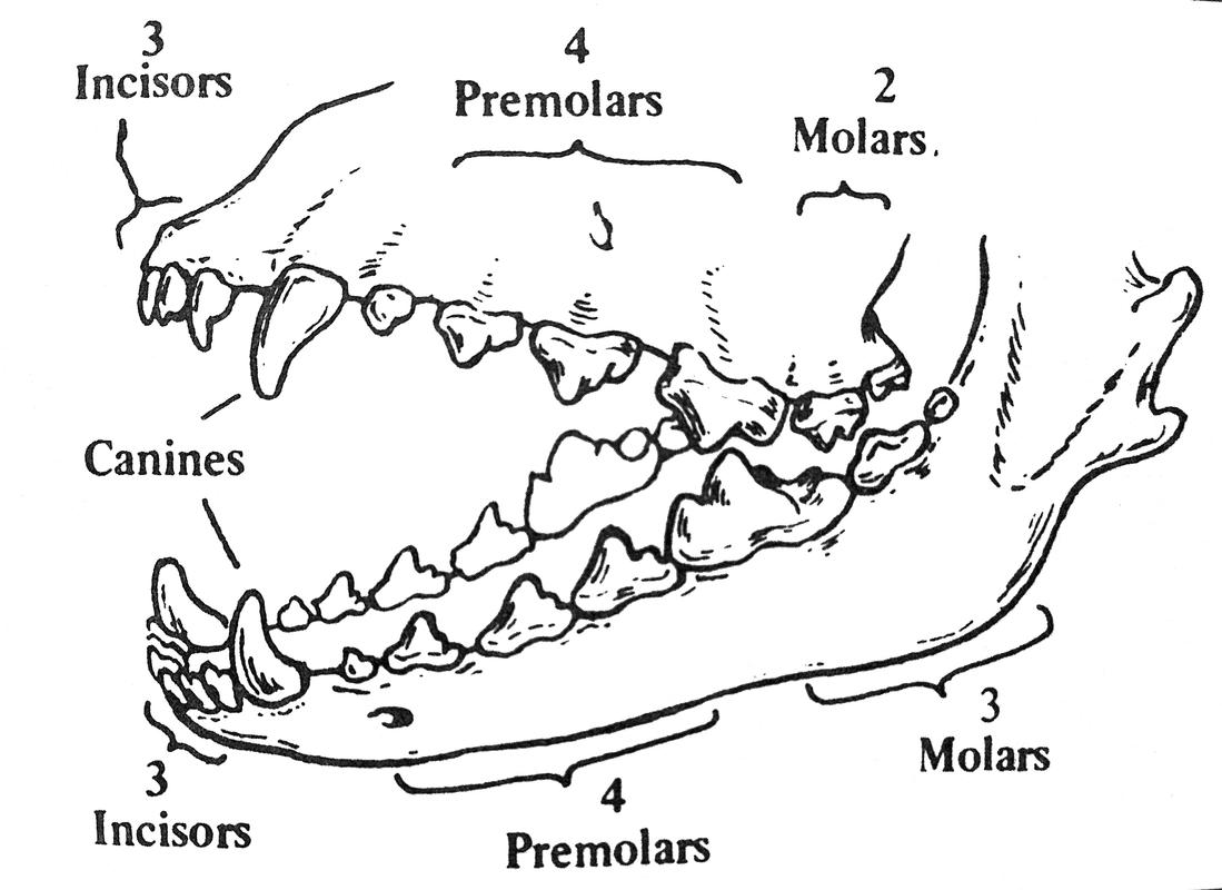 wolf skeleton diagram 2000 jeep wrangler ignition wiring anatomy - the german shepherd dog