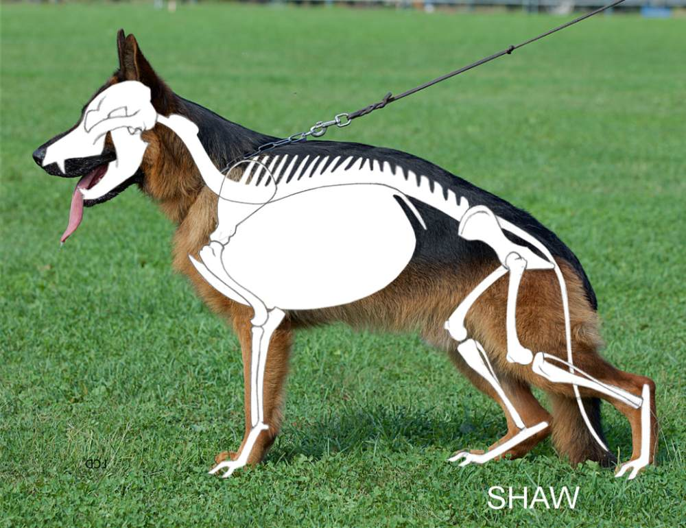 medium resolution of the standard calls for a medium size slightly elongated powerful and well muscled dog with dry bone and firm overall structure dry bone is dense and oval