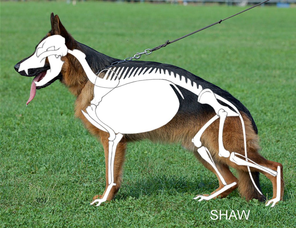 hight resolution of the standard calls for a medium size slightly elongated powerful and well muscled dog with dry bone and firm overall structure dry bone is dense and oval