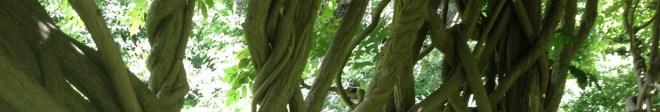 wisteria vines at Wanna Wanna