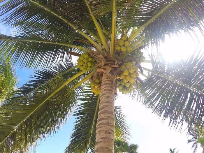 Coconut tree in Belize!