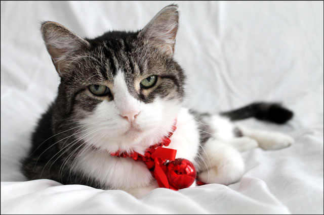 eddie-christmas-cat-04