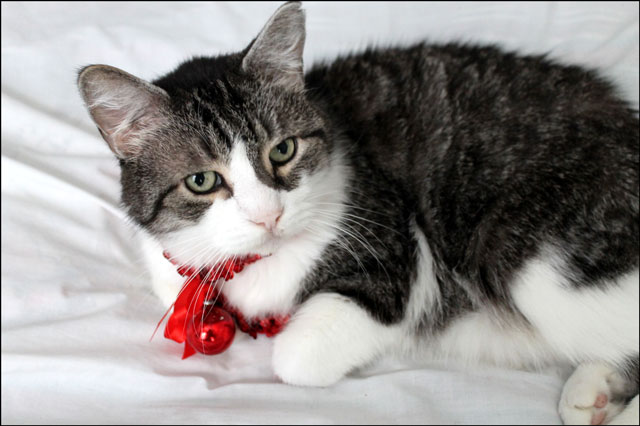 eddie-christmas-cat-07