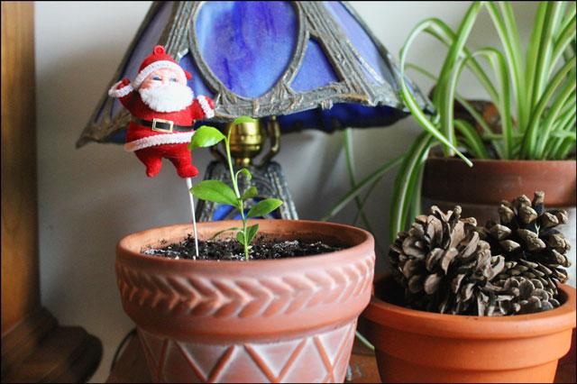 santa-pick-in-a-plant