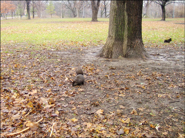 squirrels-in-the-park-in-wi