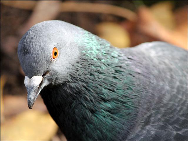 pigeon-head