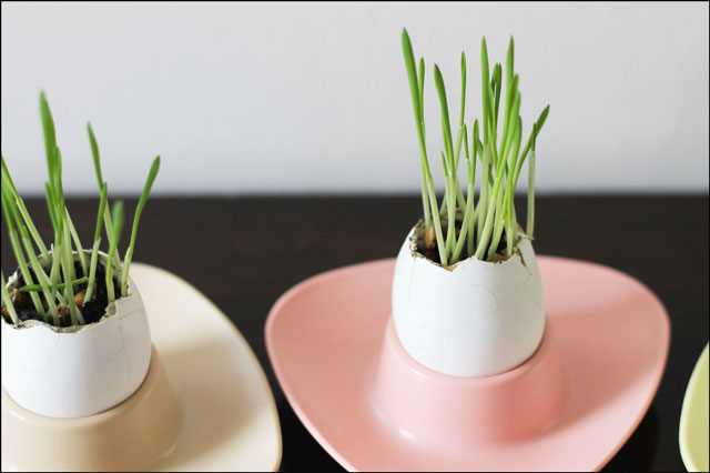 Grass growing in Eggshells