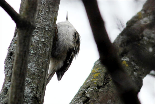 brown-creeper-2013-toronto