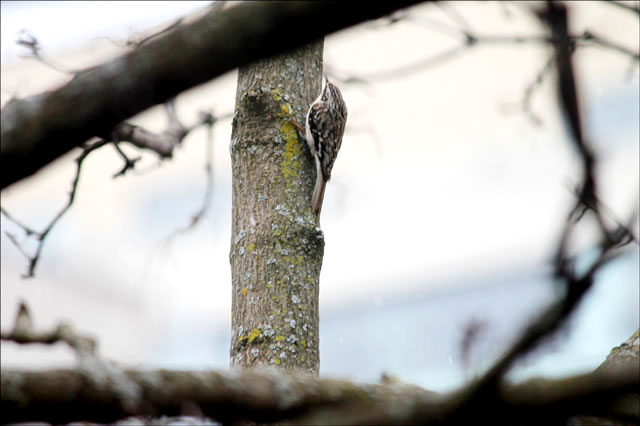 brown-creeper-bird