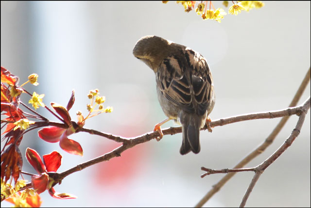 sparrow-in-maple-tree-05