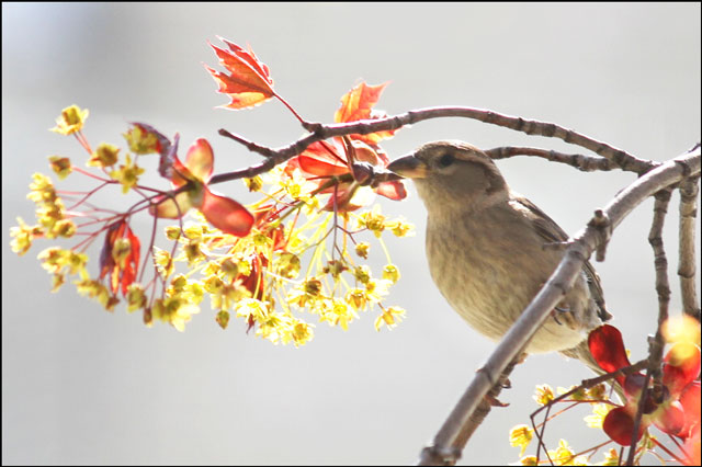 sparrow-in-maple-tree-06