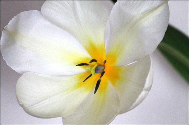 tulip-in-vase-06