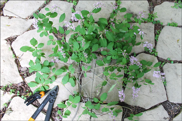 trimmings-from-lilac-tree