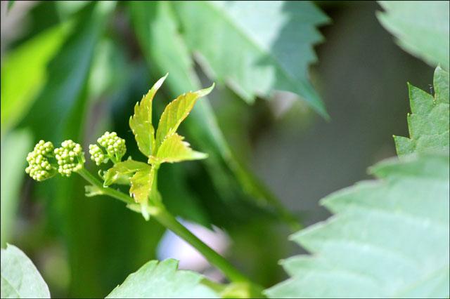 vine-tiny-berries
