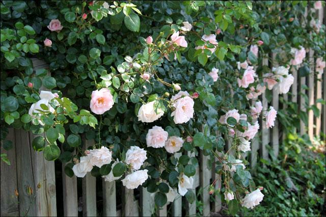 pink-rambling-rose-plant