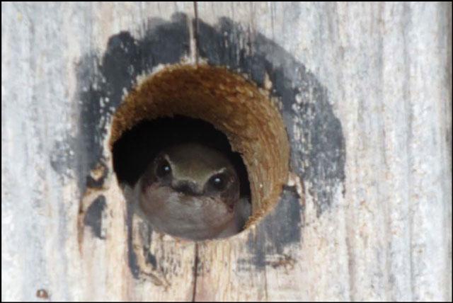 swallow-in-nesting-box