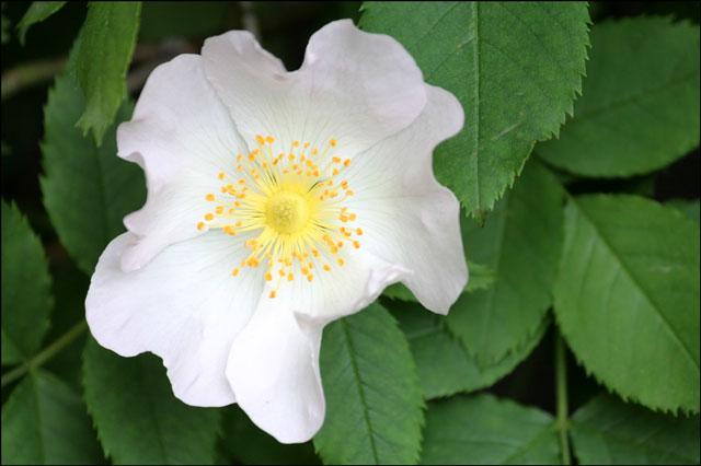 single-petal-rose