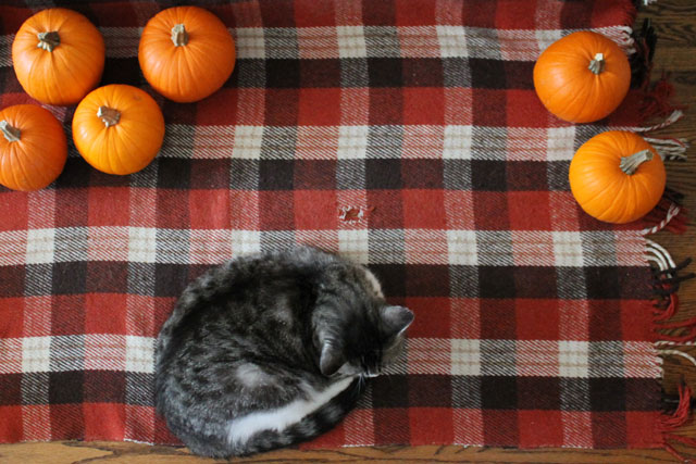 cat-sleeping-with-pumpkins
