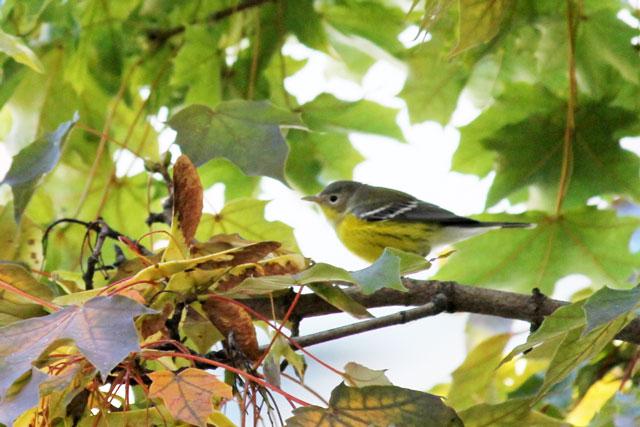 yellow-bellied-flycatcher-fall-2013