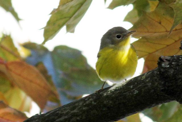 yellow-bellied-flycatcher-in-toronto
