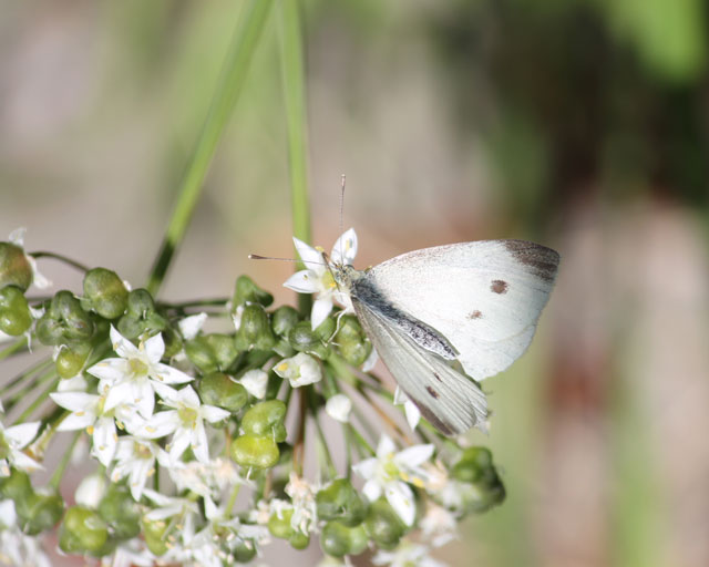 butterfly-and-wild-onion-03