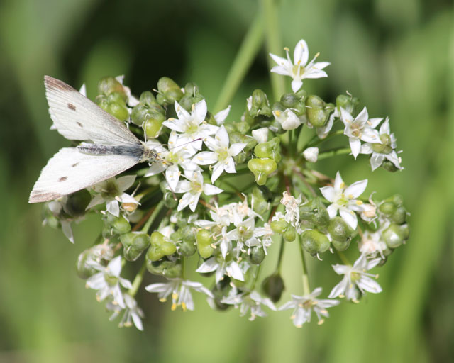 butterfly-and-wild-onion-04