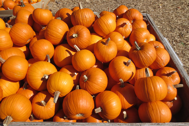pie-pumpkins-for-sale
