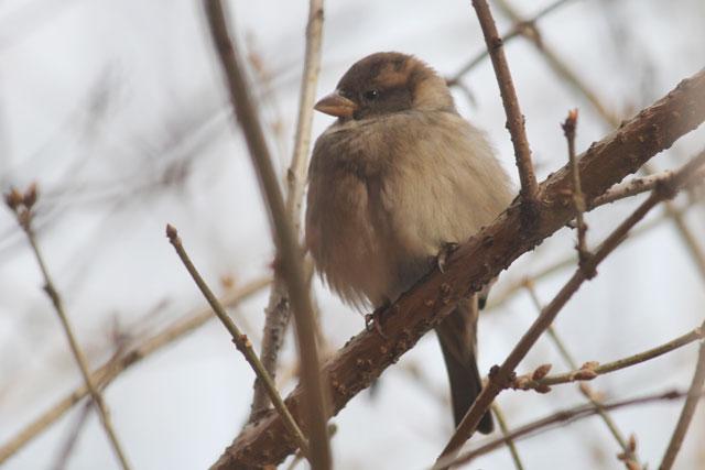 fluffy-sparrow-2