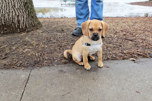 puggle-pup-3-months-old-04