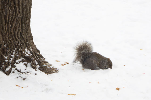 squirrel-in-the-snow-with-peanuts