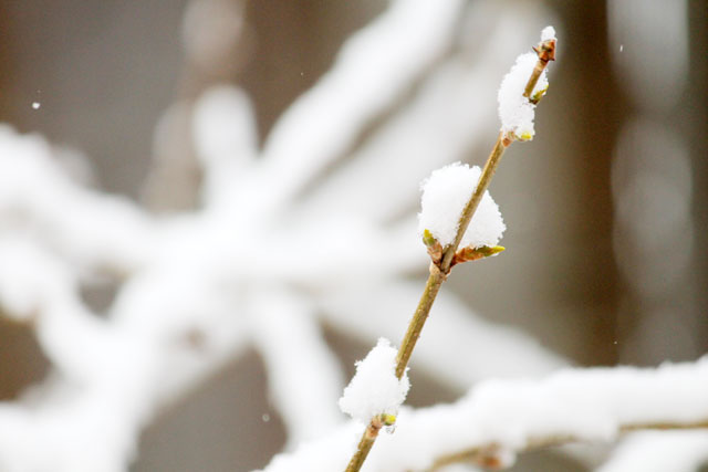 snow-on-forsythia