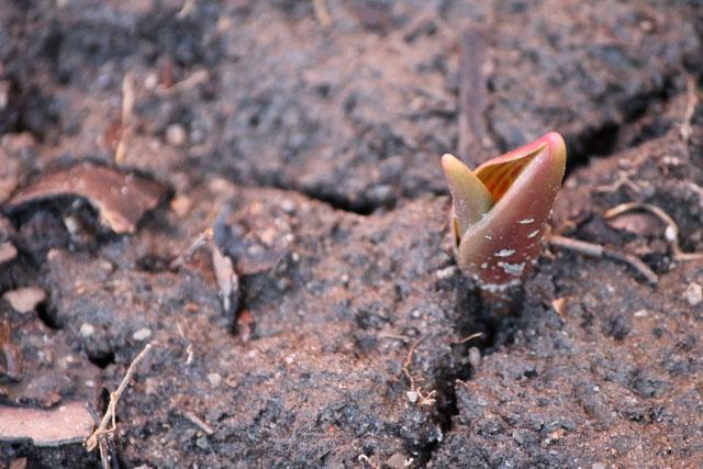 tulip-bud-poking-through