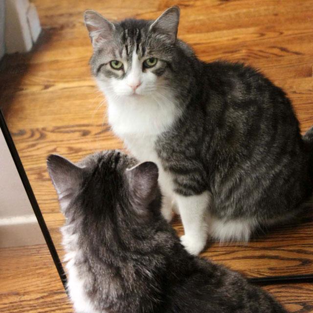 cat-in-a-mirror-4