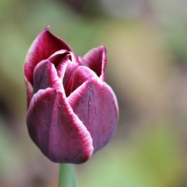 dark-purple-tulip-with-white-egde-01